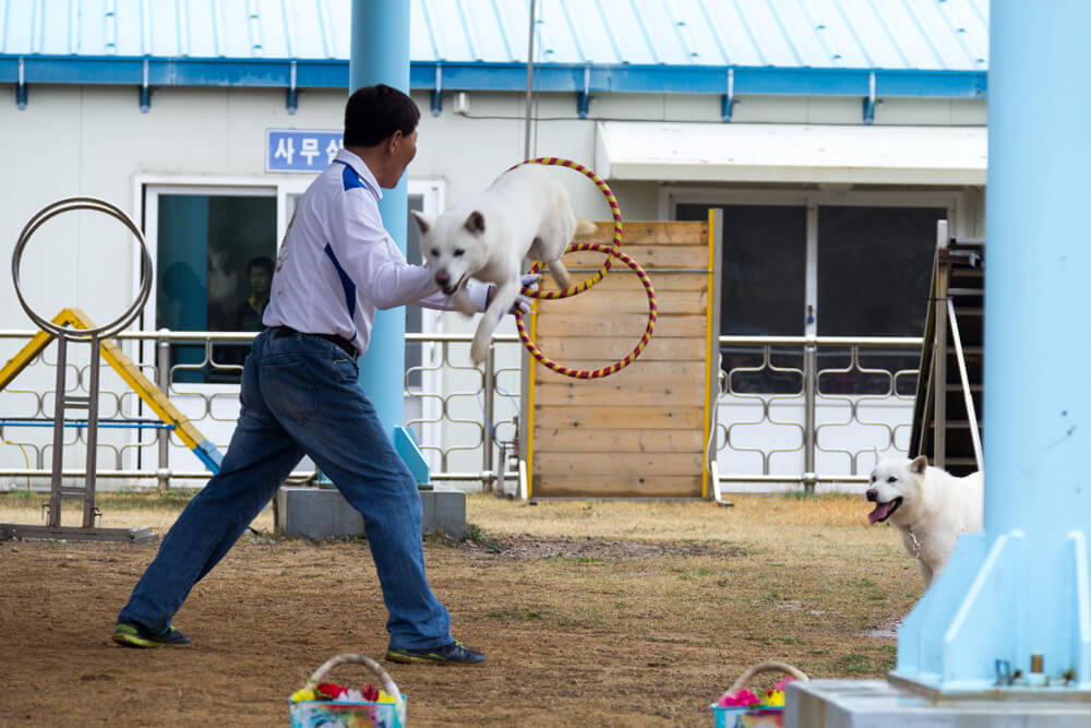 Jindo Dog Jumps Through hoops