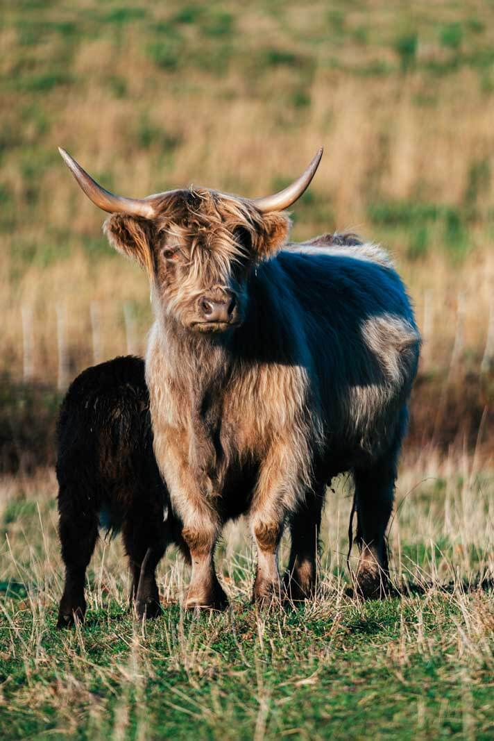 A hairy coo in Nova Scotia cow