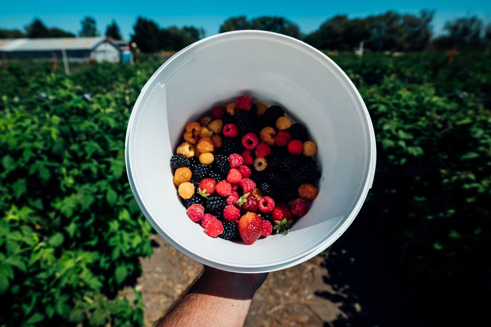 Picking Berries at Ahtanum Berry Patch