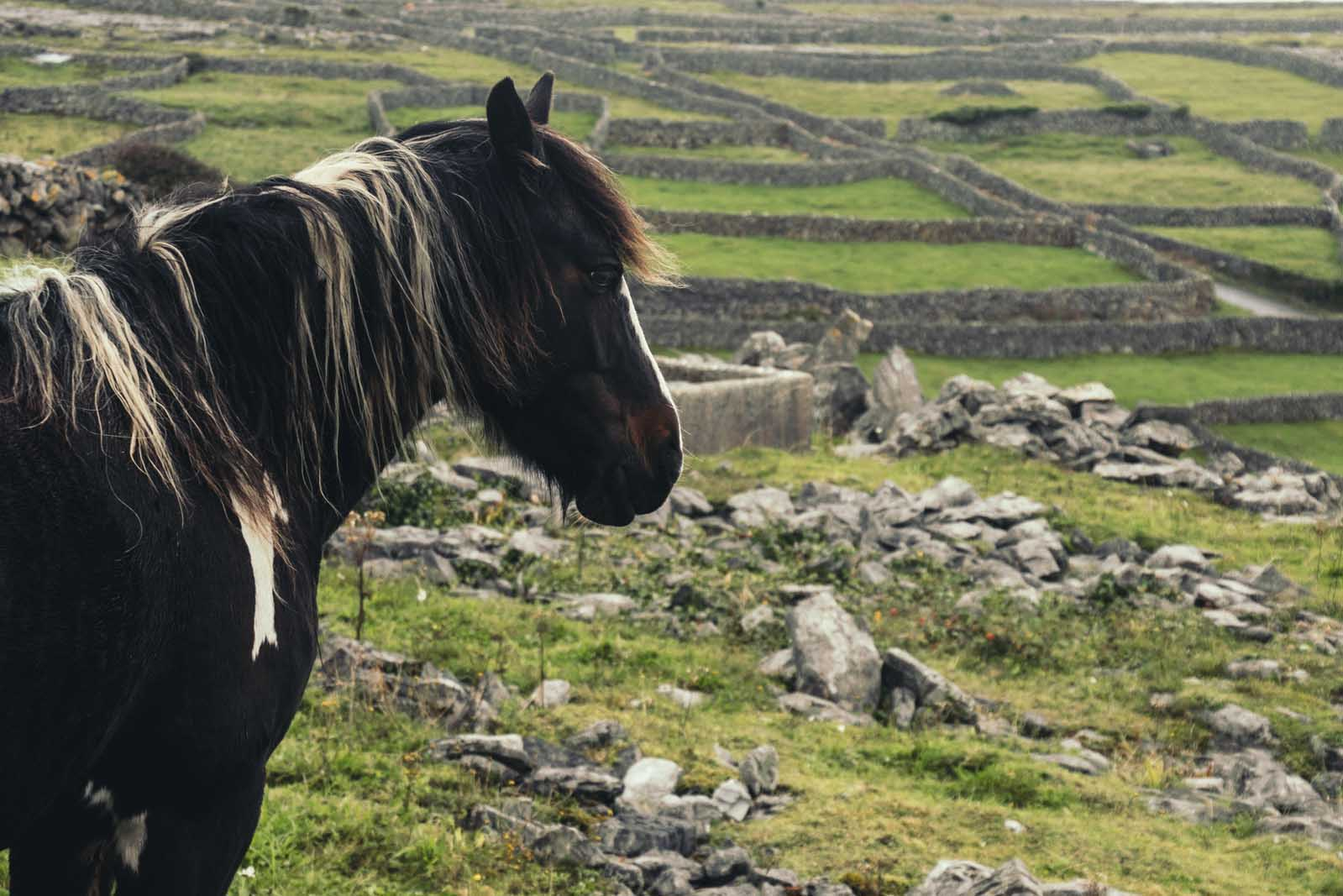 Horse-looking-at-fences-on-Inisheer-Aran-Islands