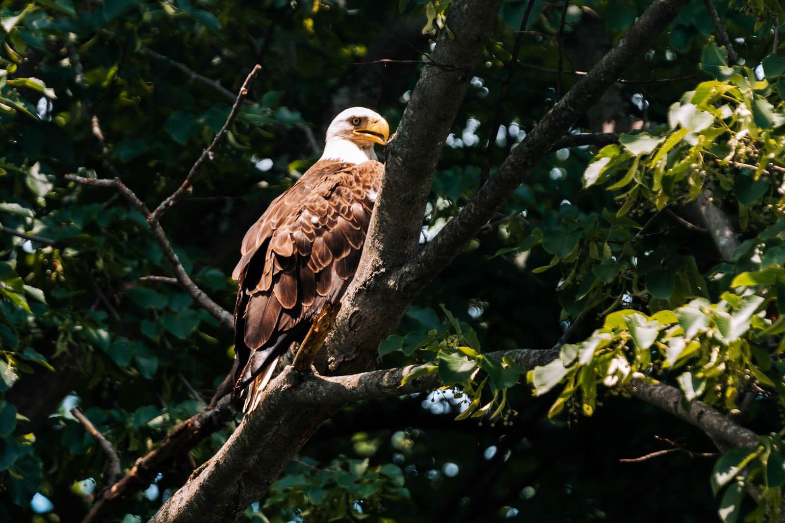 Bald Eagle sighting along the Delaware River in Narrowsburg New York