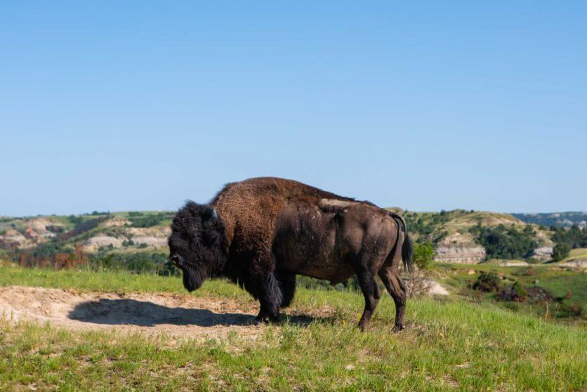 Bison in Theodore Roosevelt National Park North Unit in North Dakota