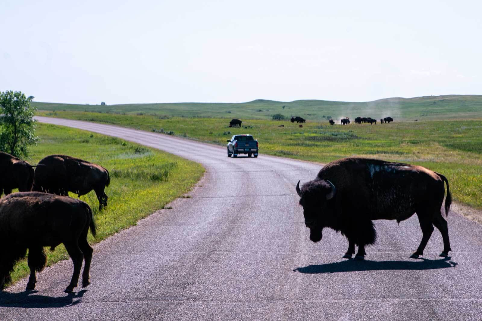 Bison on the road at Theodore Roosevelt National Park North Unit