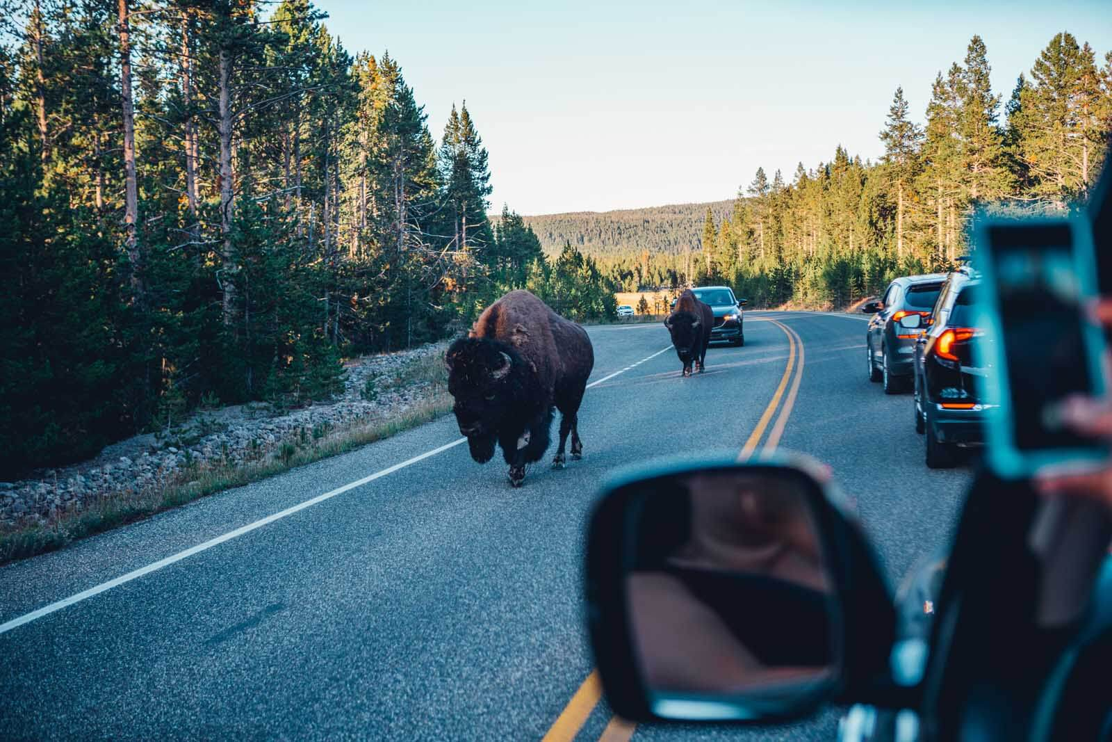 Bison walking right down the road in Yellowstone National PArk