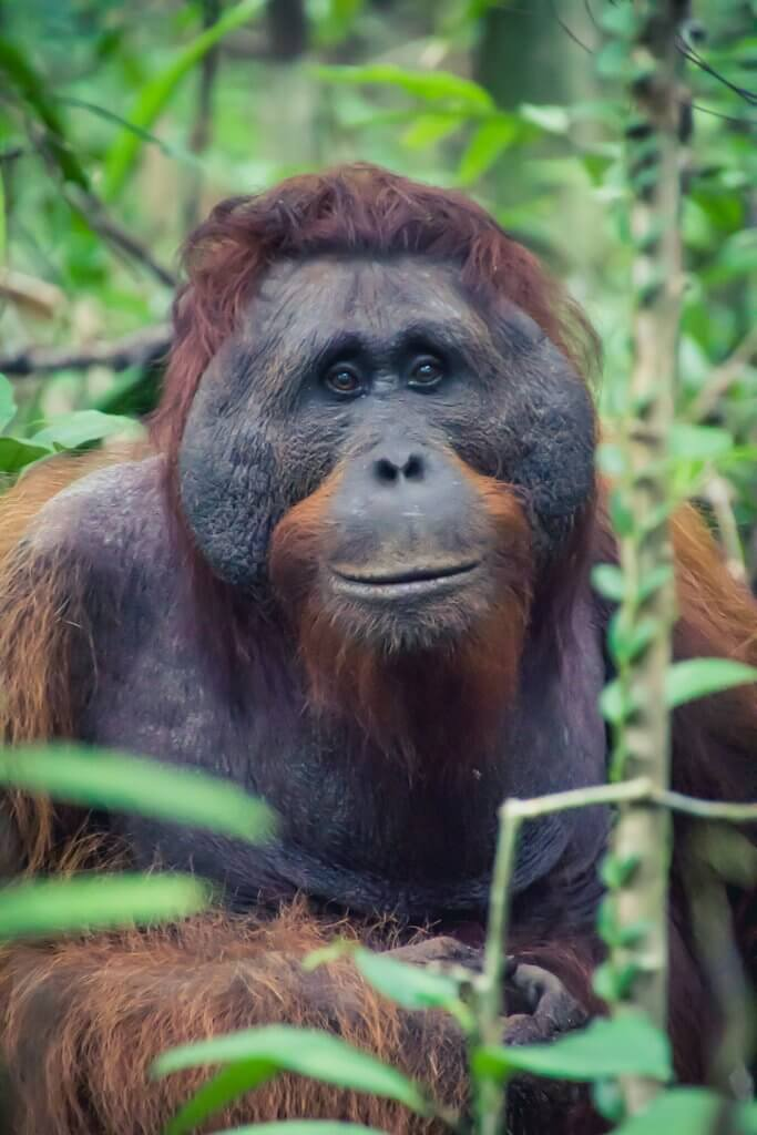 a nice portrait of a male orangutan in Borneo Indonesia