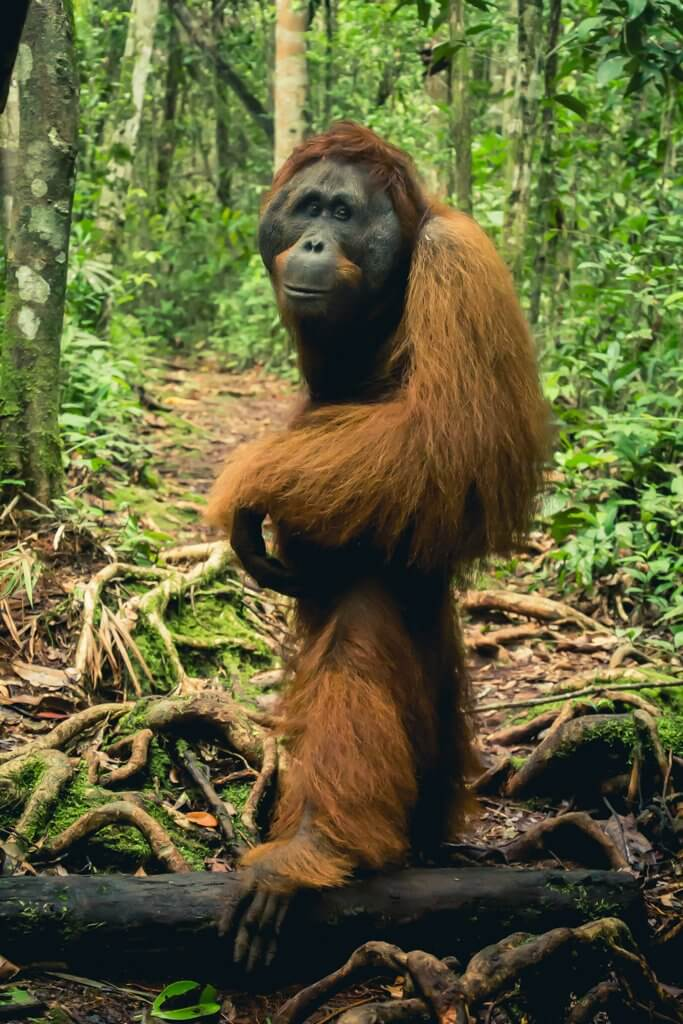 This beautiful female orangutan is showing us the way to the feeding station in Borneo Indonesia