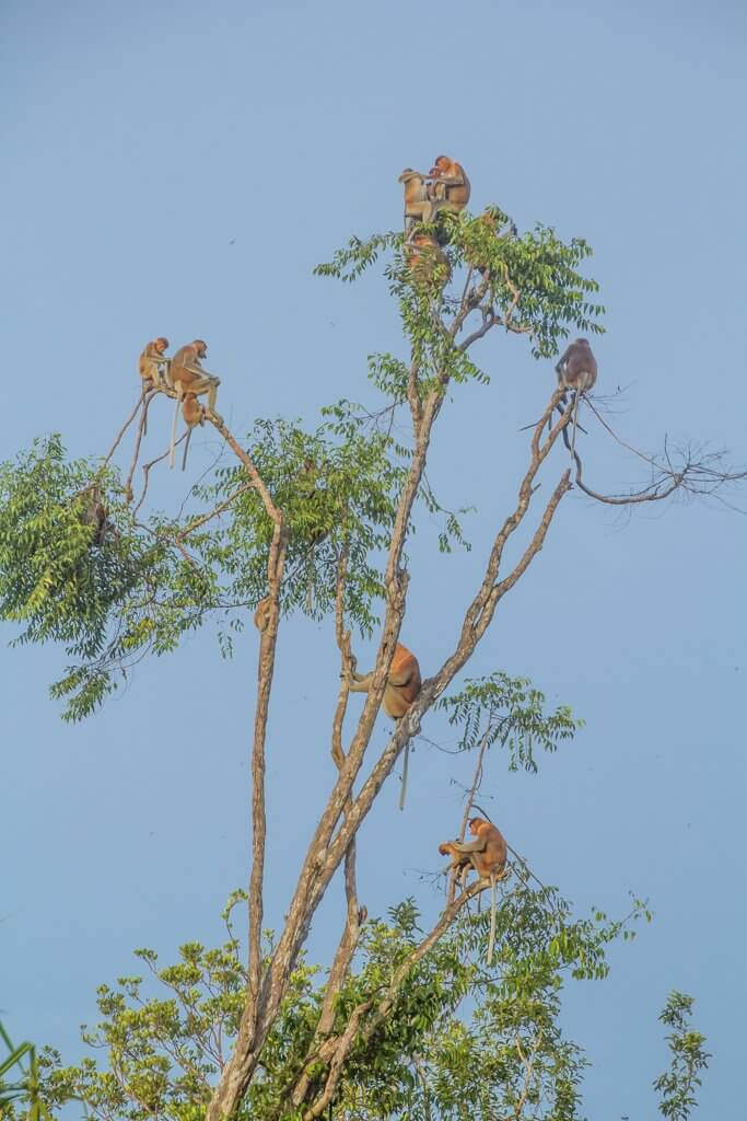 Tons of probiscus monkeys in a tree from our boat in Borneo Indonesia