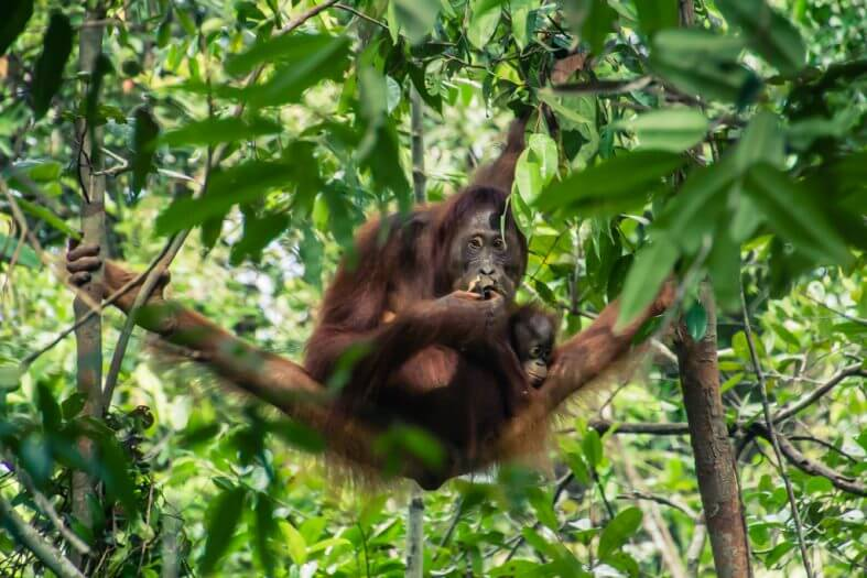 This mom and baby orangutan putting on a show for us in Borneo