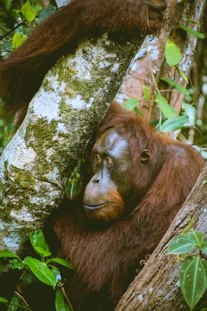 An orangutan is looking away while sitting in a tree in Borneo