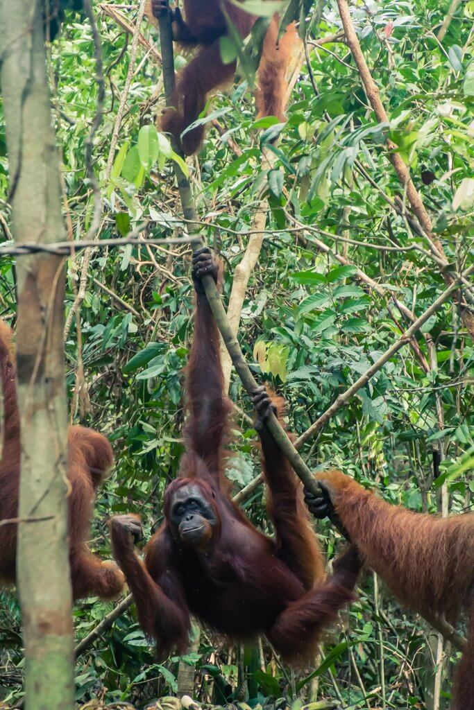 A few of the orangutans showing us the lay of the land from the trees in Borneo