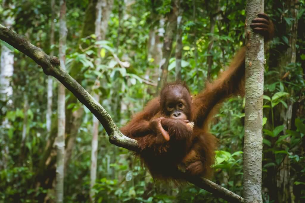 Adorable baby orangutan at a feeding station in Borneo Indonesia