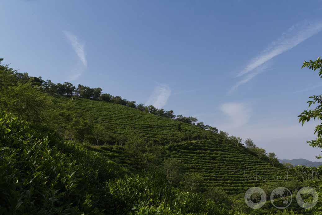 Boseong Green Tea Plantation - Botjae