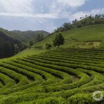 A Day Trip for the Boseong Green Tea Fields and Yulpo Beach