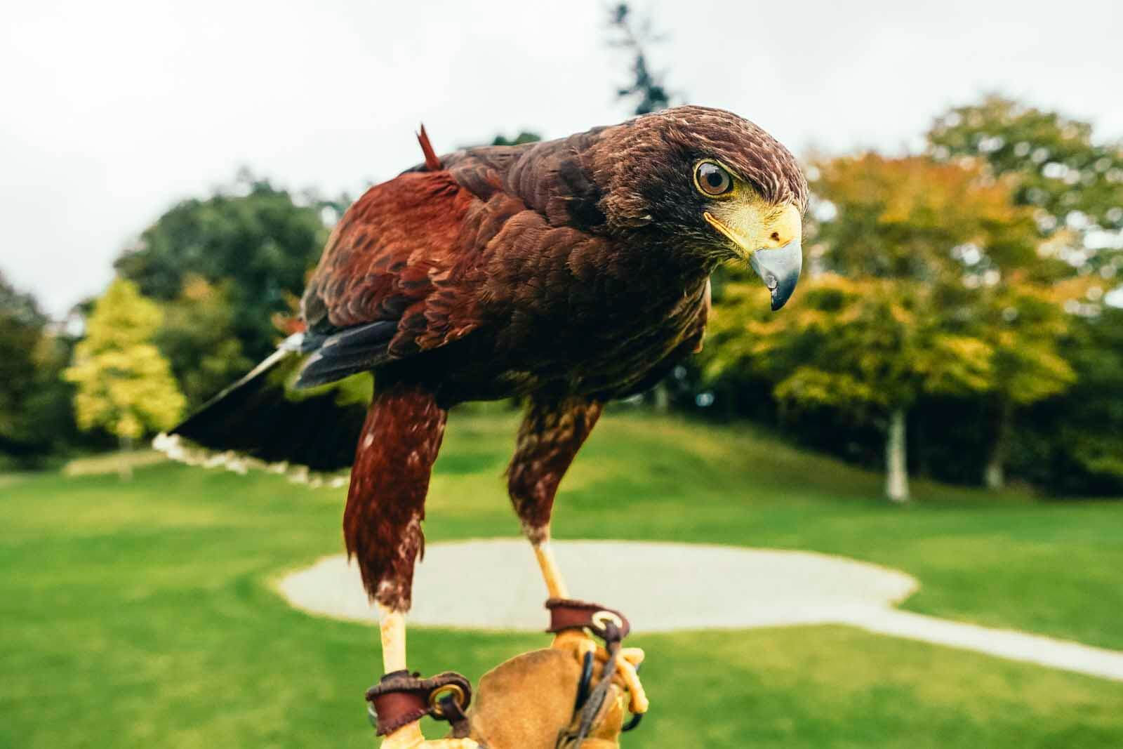 Hawk at Dromoland Castle in IReland
