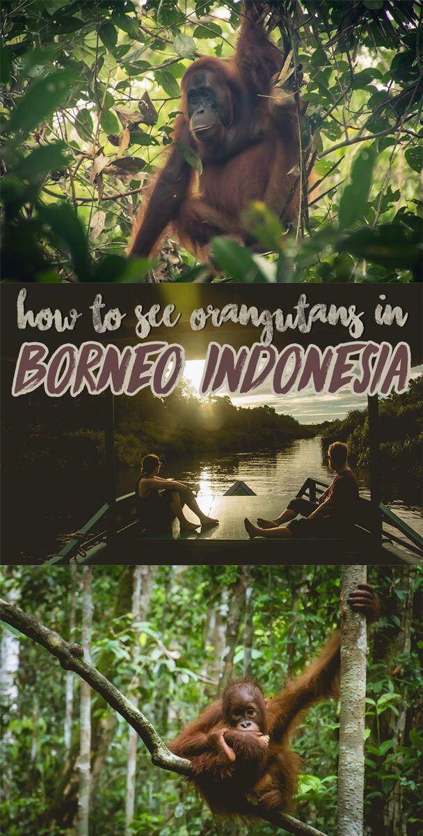 how to see orangutans in the jungle of borneo indonesia