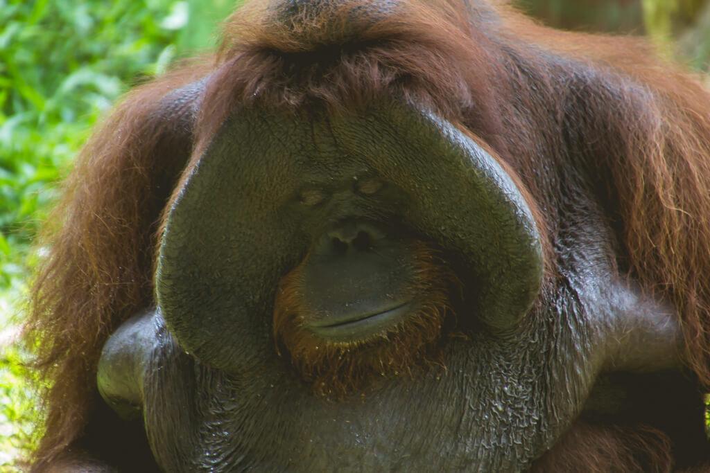 Jackie the Orangutan at Bali Zoo