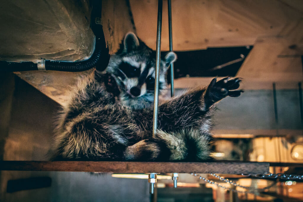 Raccoon Cafe in Seoul