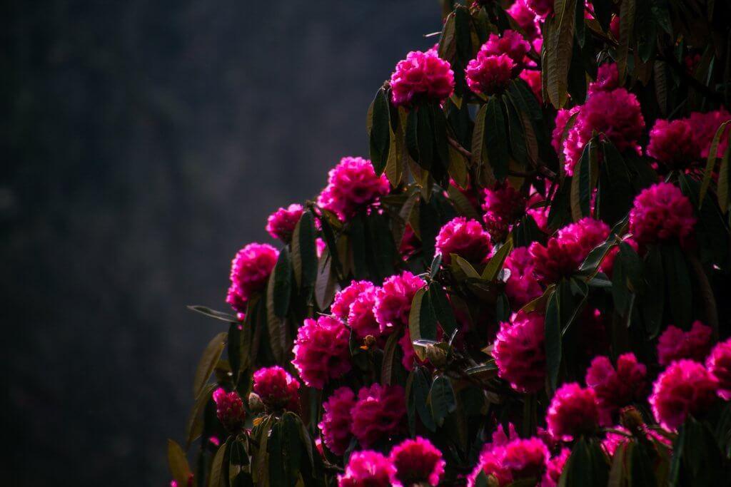blooms on poon hill trek