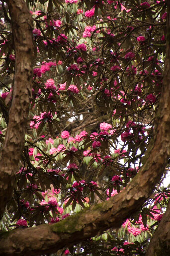 More beautiful blooms poon hill trek