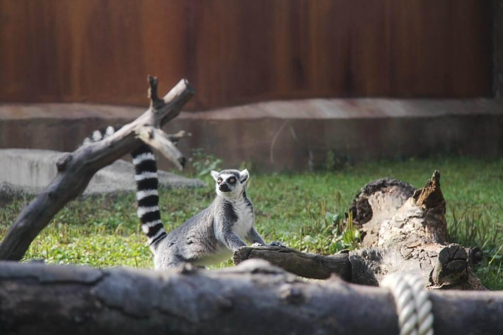 Lemur-at-Friendly-Monkey-Valley