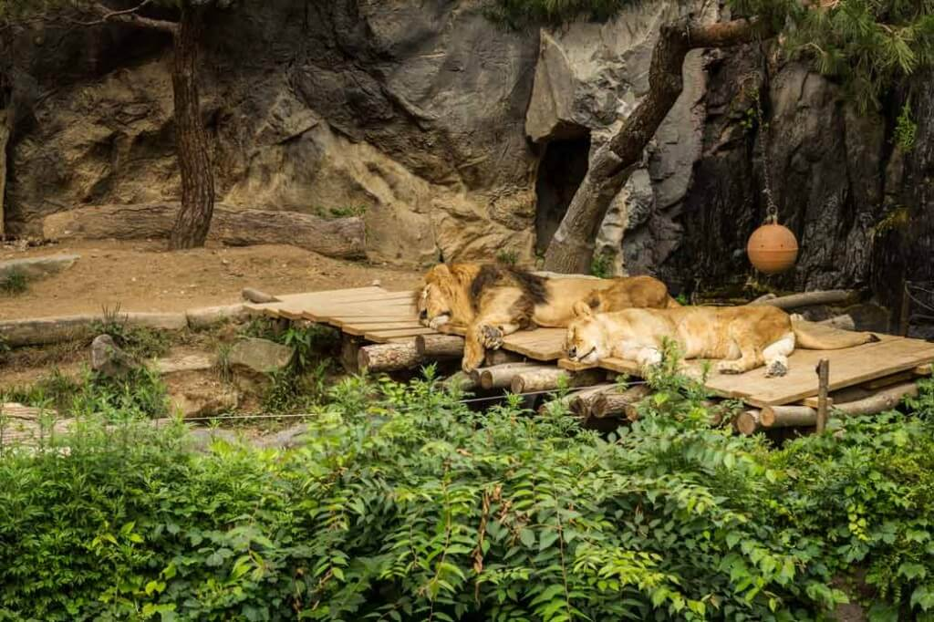 Lion-Couple-Sleeping