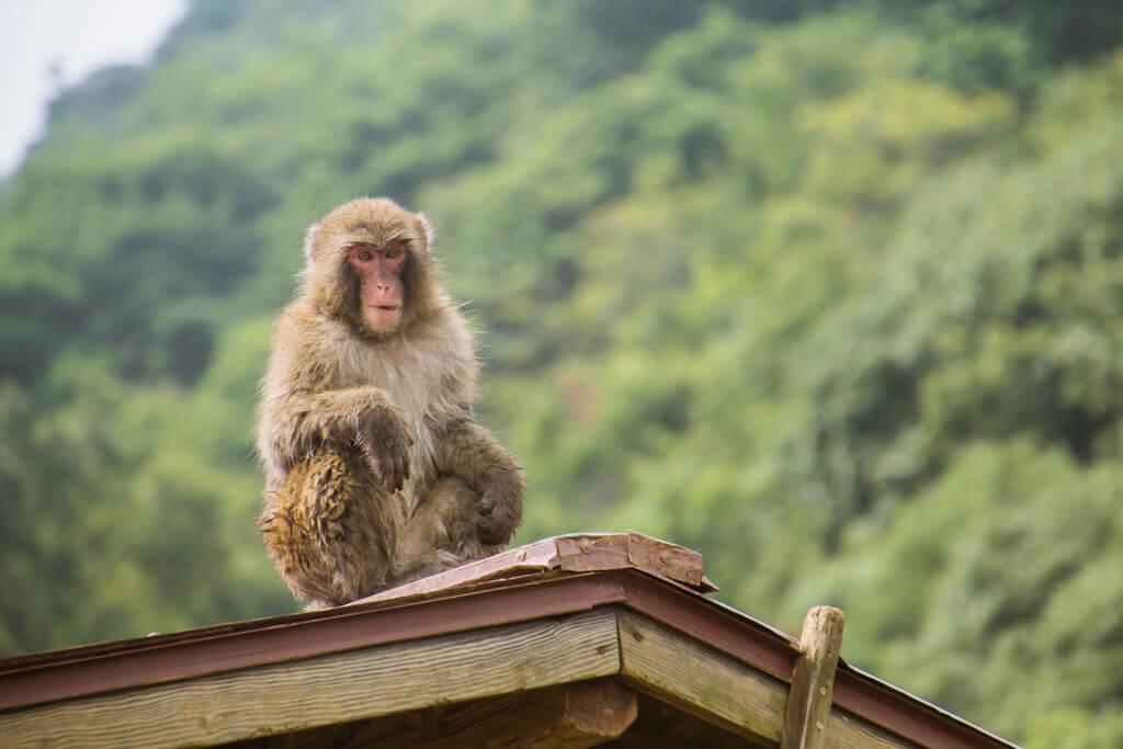 Monkey Arashiyama Monkey Hill