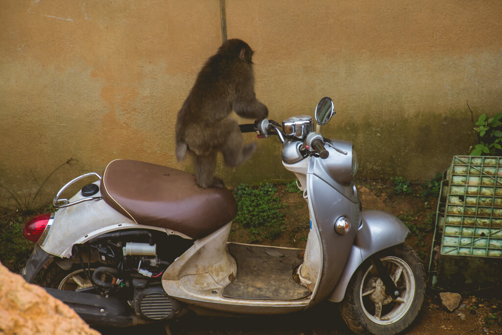 Monkey on Vespa at Arashiyama Monkey Hill