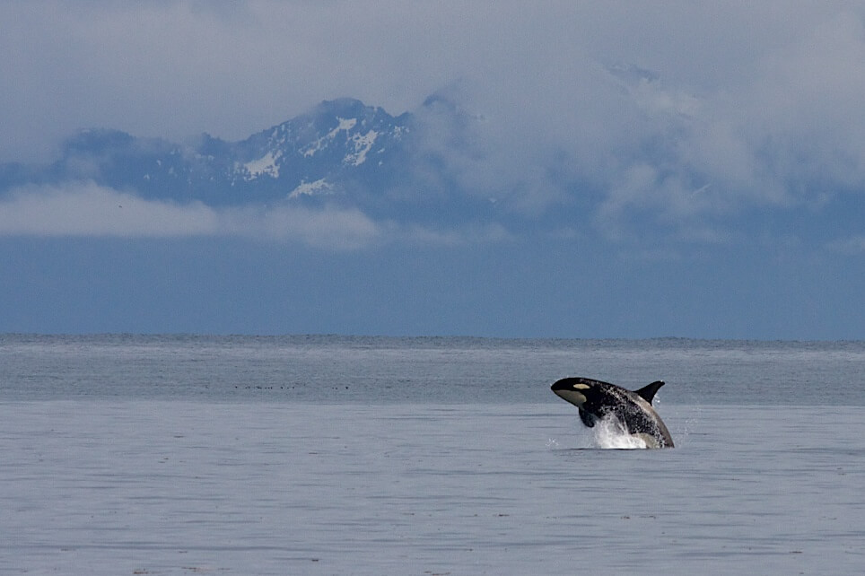 A photo of an orca jumping out of the water in Kenai Fjords National Park with the moutains in the background.