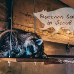 Discovering a Raccoon Cafe in Seoul