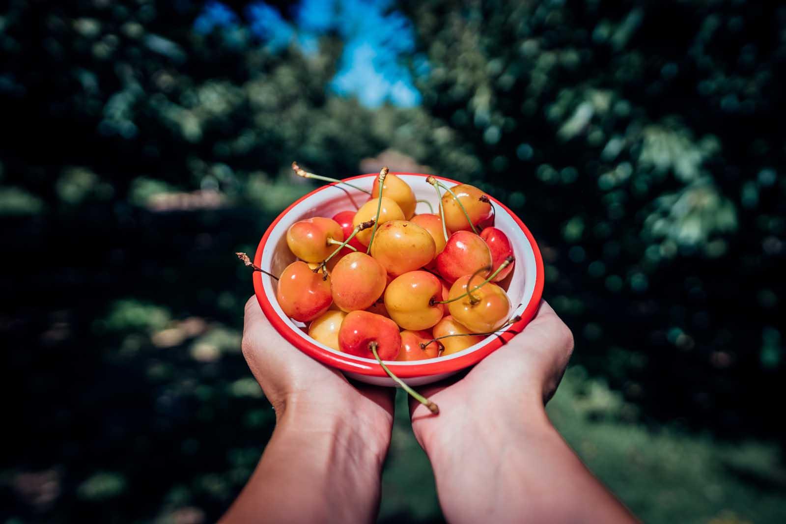 Picking Rainer Cherries at Barrett Orchards