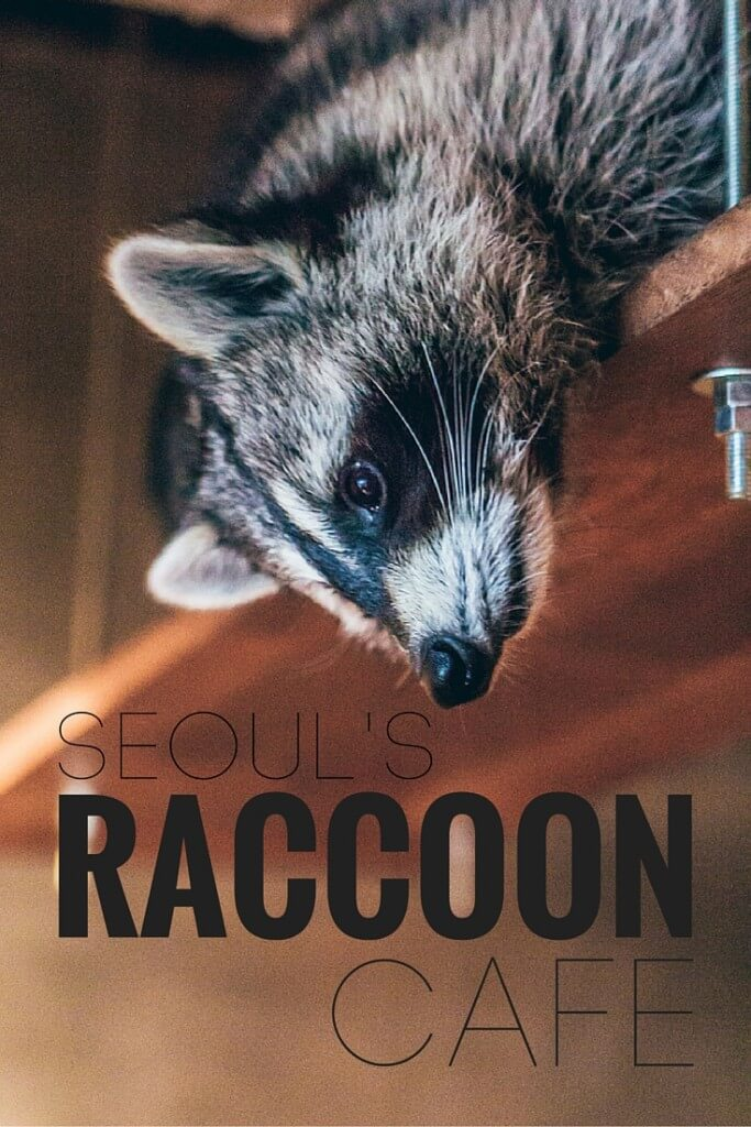 Raccoon Cafe in Seoul