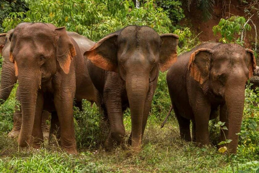 elephants in Mondulkiri Cambodia at Elephant Valley Project