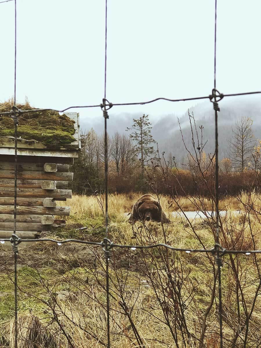 brown-bear-at-alaska-wildlife-conservation-center