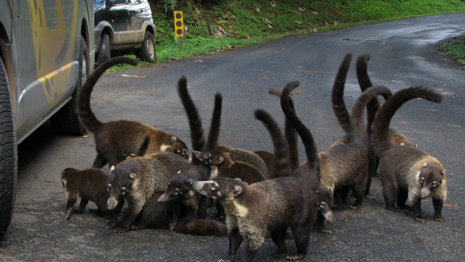 Coati on the Road in Arenal Costa Rica