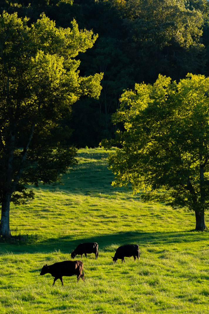 cows grazing in a pasture during golden hour near Leipers Fork Tennessee