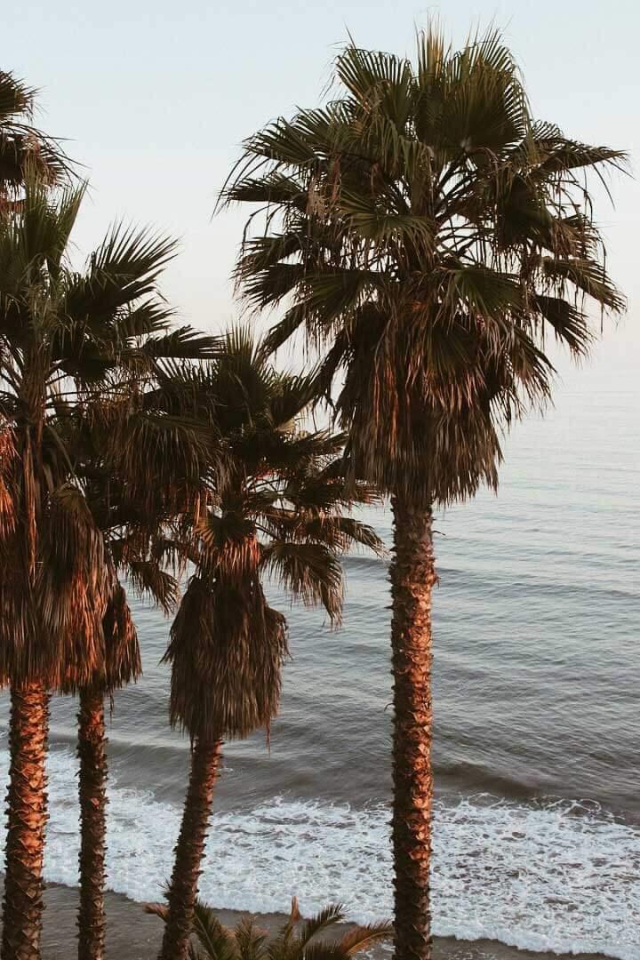palm-trees-by-the-beach-in-Encinitas-California