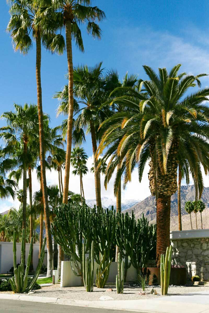 pretty-palm-trees-in-Palm-Springs-california