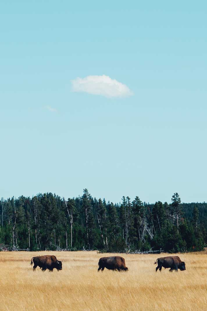 the bison in Yellowstone National Park