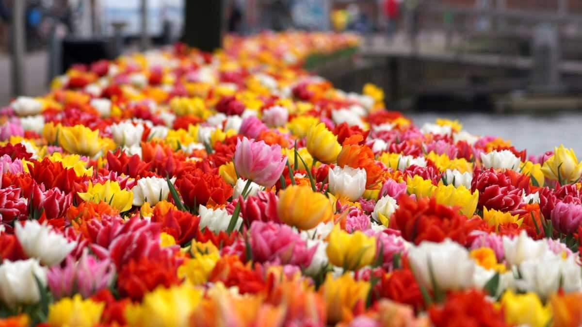 tulips-of-amsterdam-markets-TB6XHYK